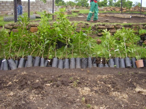 Soem of the fruit trees to be planted